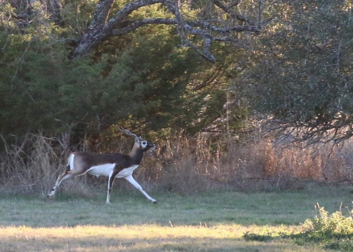 Blackbuck6