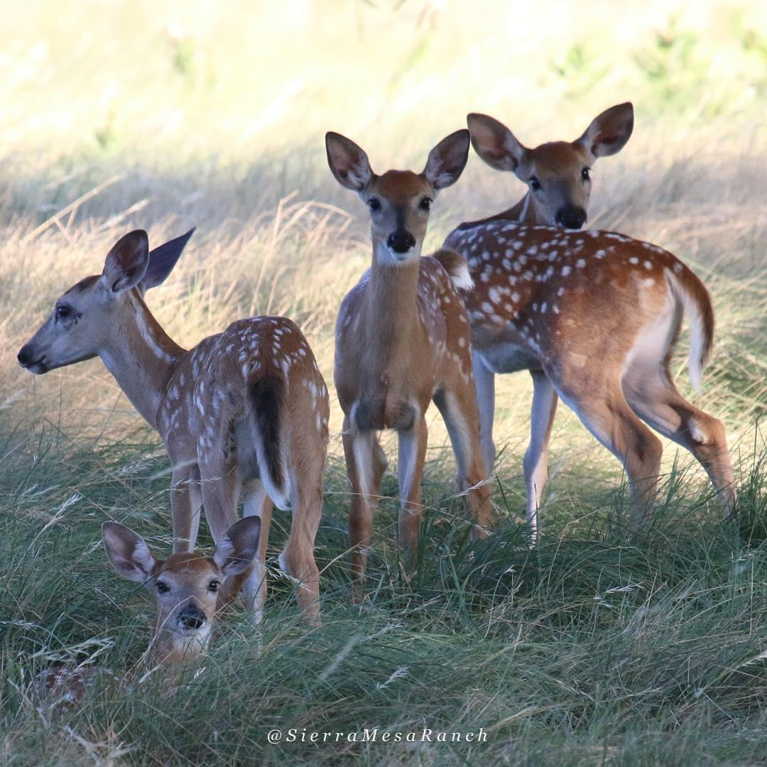 Fawns 2018 2