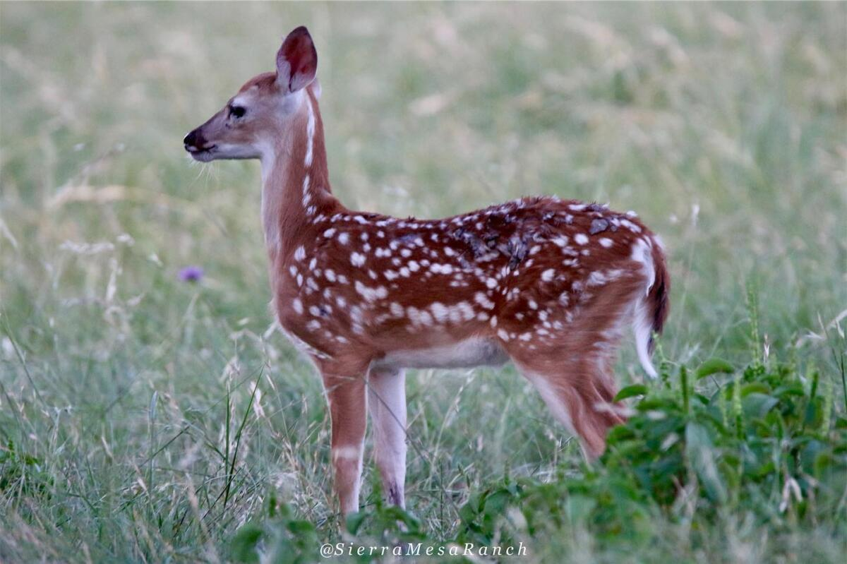Fawns 2019 11