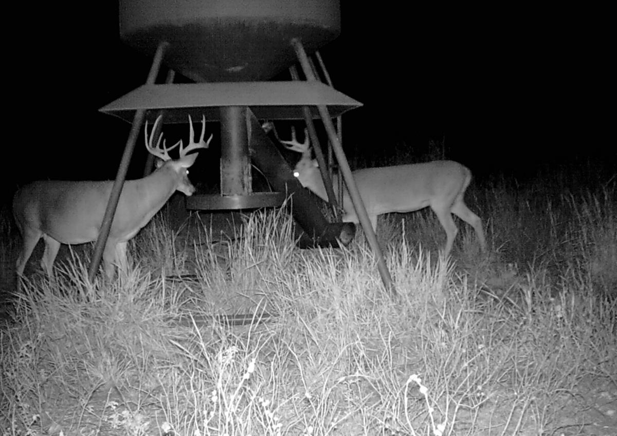 night two deer game cam cropped