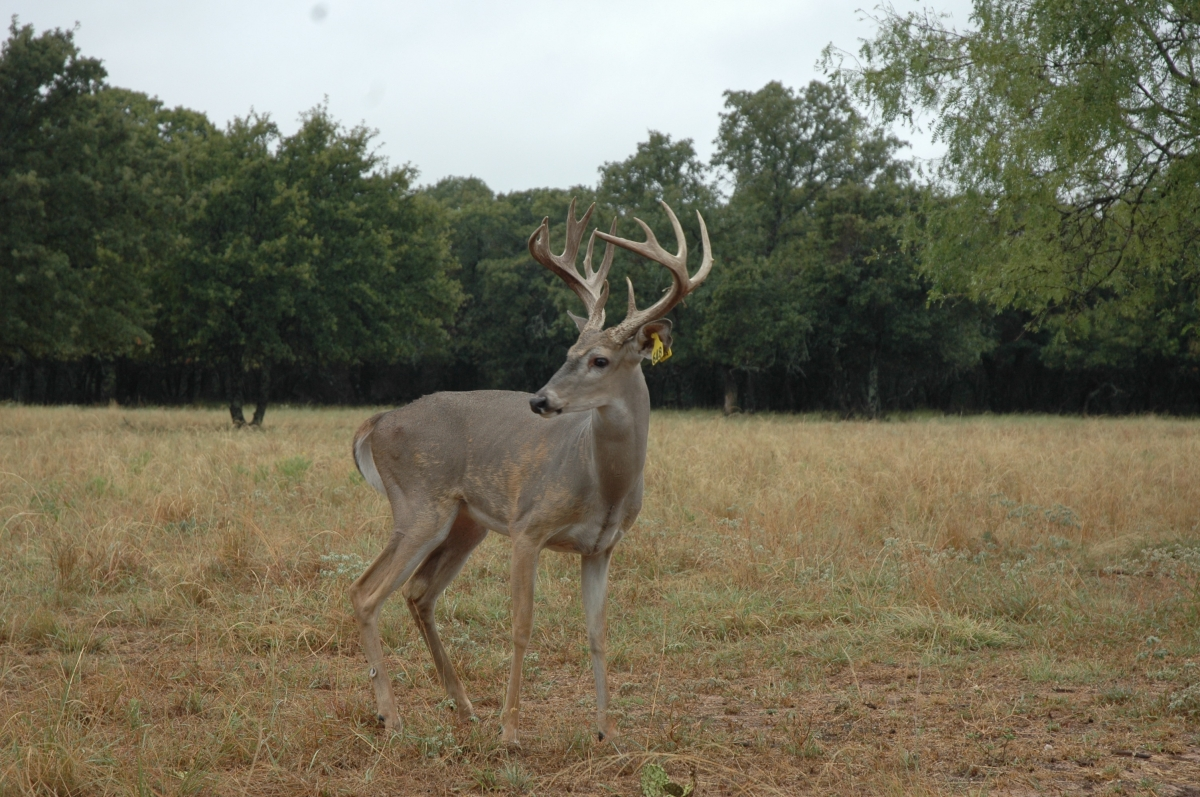ranch deer 10