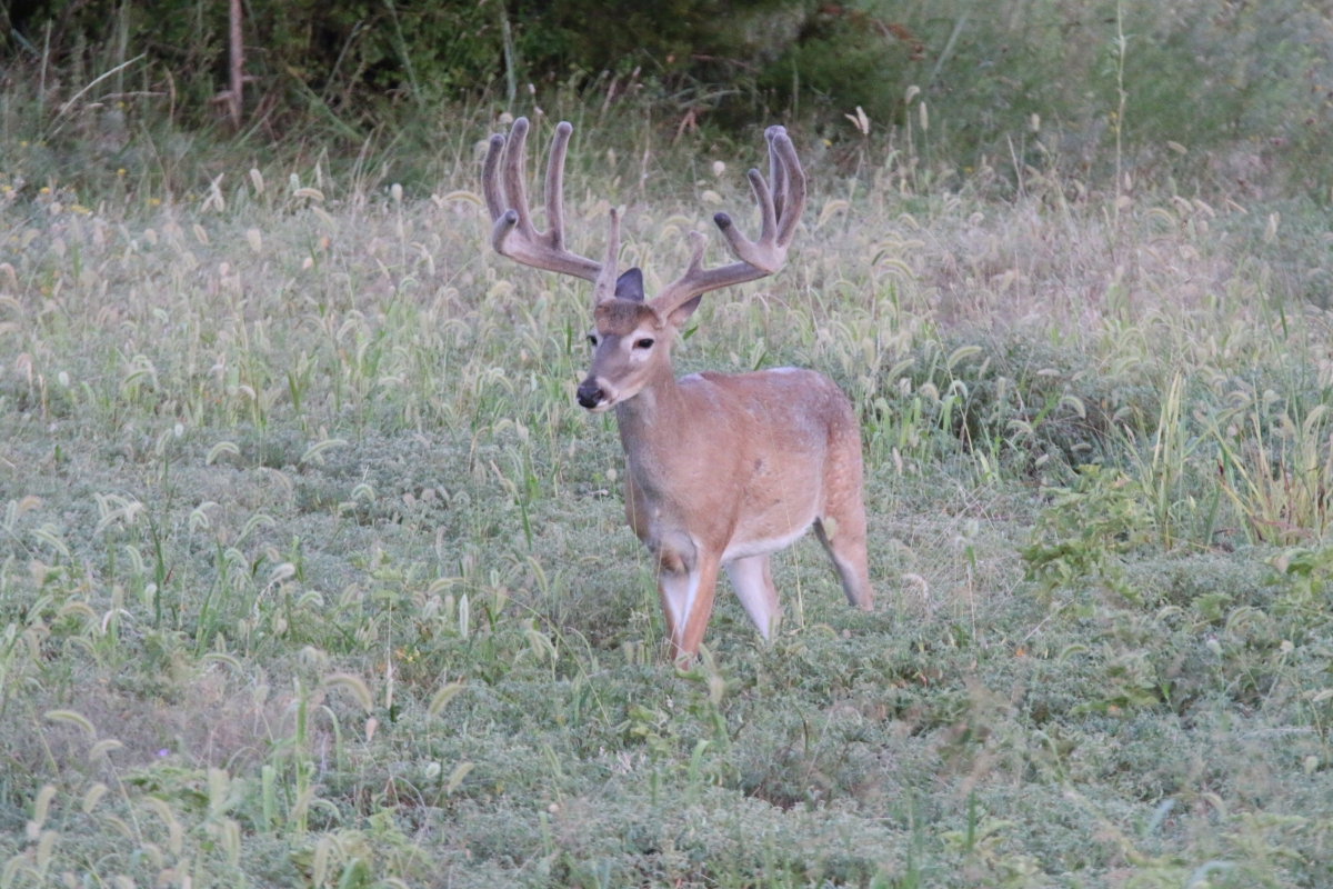 ranch deer 14