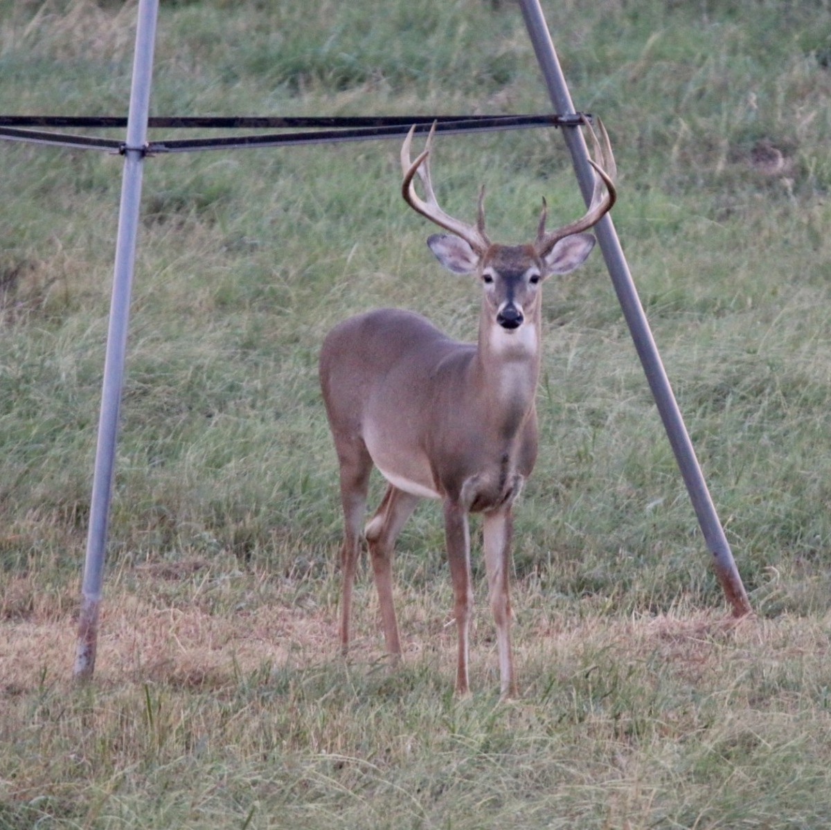 ranch deer 16
